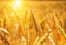 Skuteczny oprysk na kukurydzę